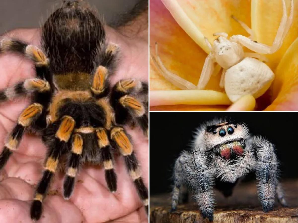 Tipos de Arañas Mas Comunes (Inofensivas y Venenosas)