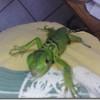 Antes de comprar una iguana verde ¡pensémoslo! (I)