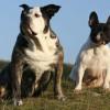 Tipos de Bulldogs: Frances, inglés y americano