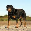 Rottweiler, fotos, razas de perros