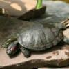 Problemas respiratorios en las tortugas