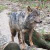 El lobo de la peninsula