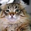 Razas de gatos | American Curl