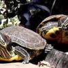 Cómo cuidar una tortuga de agua | Consejos básicos