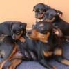 Razas de perros   El Pinscher