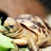 La alimentacion de la tortuga