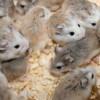 Adoptar mascotas | adoptar hámster y conejos