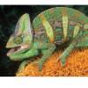 Cómo debes cuidar un camaleón en tu propia casa