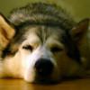 El cáncer más antiguo conocido, desde hace 11.000 años, es originado en los perros