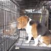 9 cachorros Beagle son soltados por primera vez en un jardín después de pasar toda su vida en el laboratorio