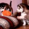 Dos cachorros de Husky pelean por un juguete y su madre llega para poner orden