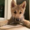 Morirás de amor al ver esto: Un cachorro con hipo