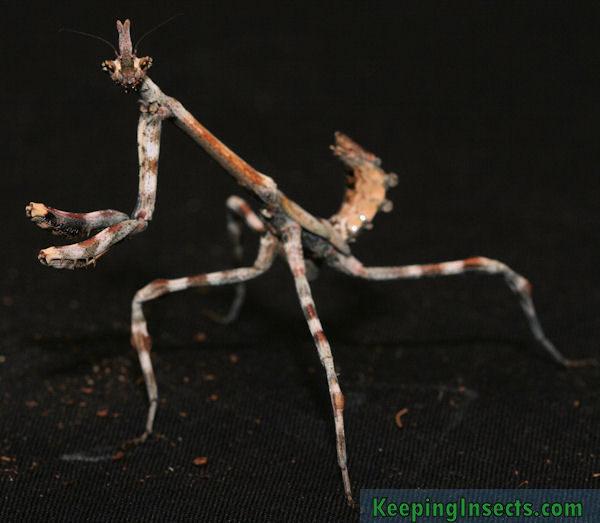 Una hembra subadulta de Pseudovates arizonae – Mantis Unicornio de Arizona