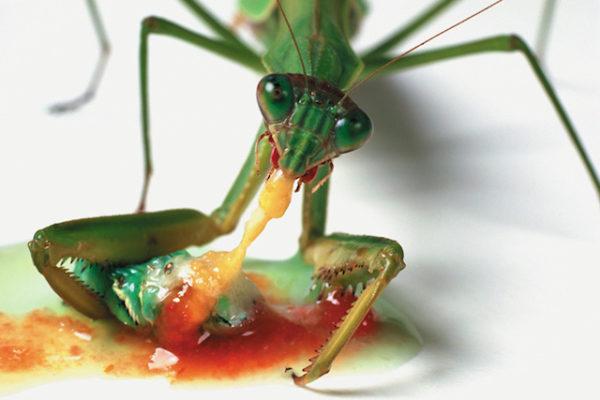 mantis-religiosa-voraz-y-sigilosa-mantis-caza-b
