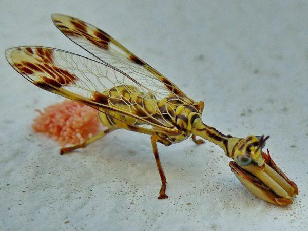 mantis-religiosa-voraz-y-sigilosa-mantis-huevos