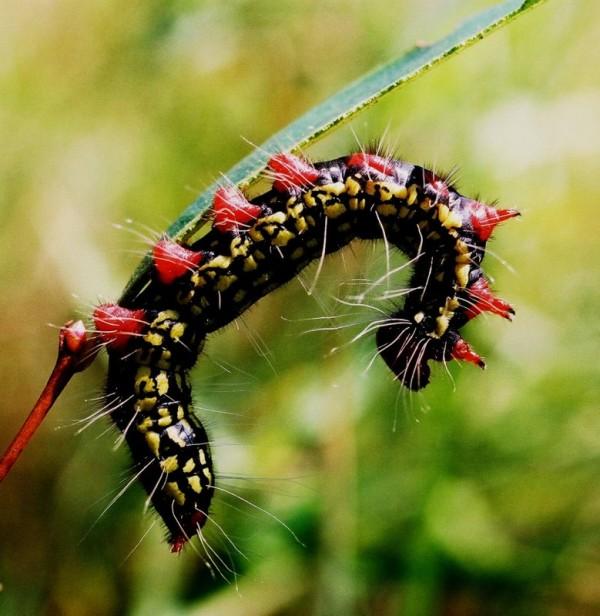 orugas-especies-con-pelos