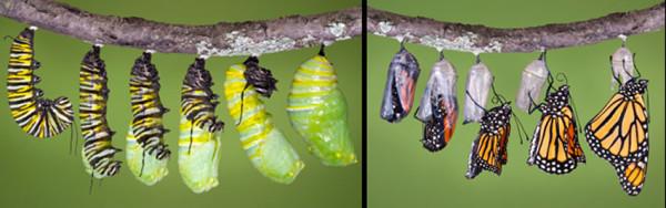 orugas-transformación-a-mariposas