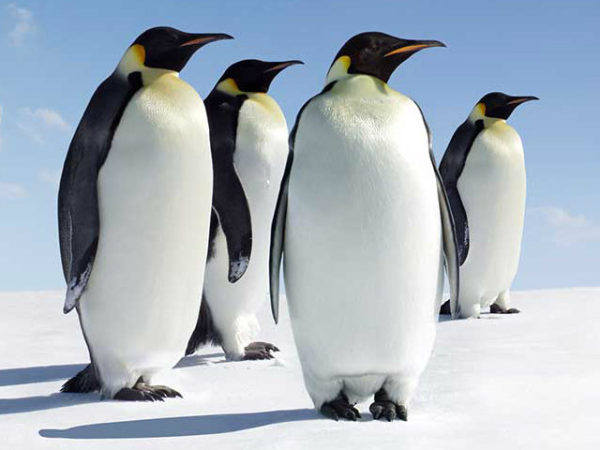 pinguinos-adultos