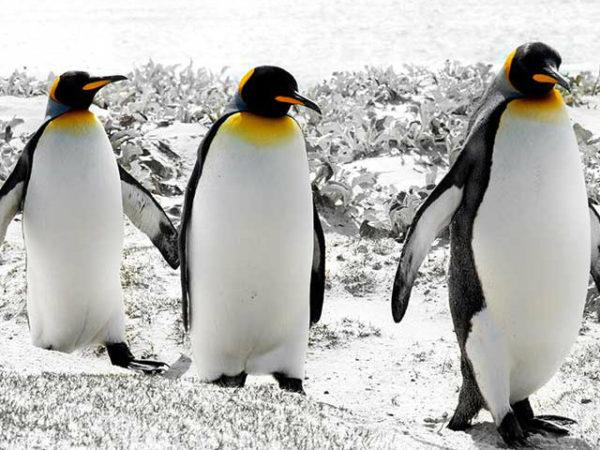pinguinos-caminando