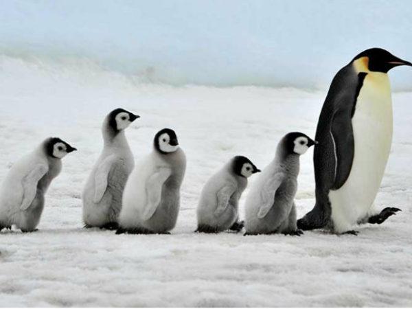 pinguinos-padre-y-los-polluelos