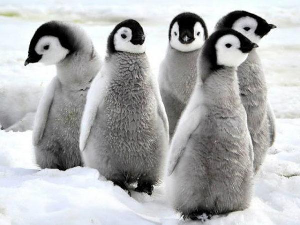 pinguinos-polluelos