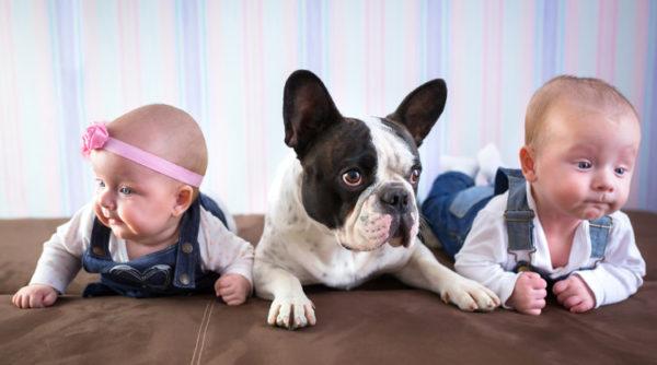 bulldog-frances-bulldog-frances-ninos