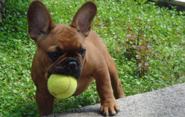 bulldog-frances-ejercicio-juegos