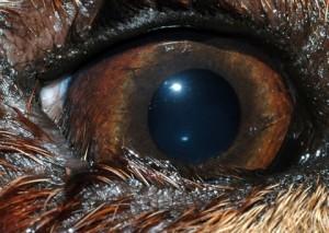 Es el enrollamiento del párpado del ojo hacia dentro, donde la piel y pelos del párpado, rozan la superficie de la córnea