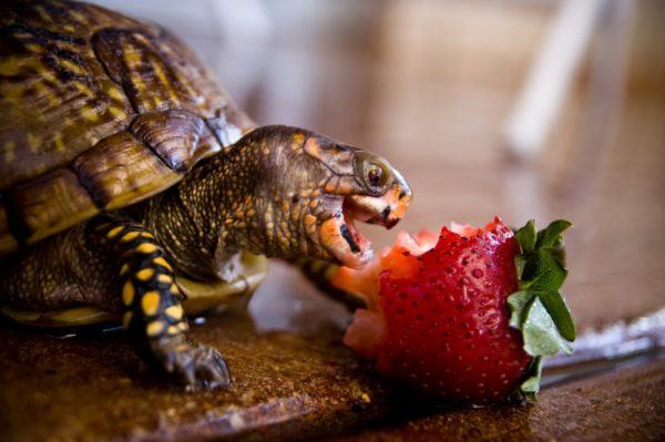 la-responsabilidad-de-tener-una-mascota-tortuga-fresa