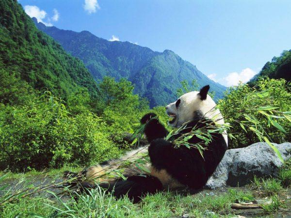oso-panda-habitat-gigante