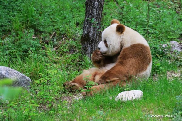 Osos Panda   Fotos, características y Oso Panda Gigante ...
