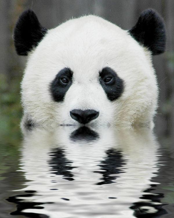Osos Panda | Fotos, características y Oso Panda Gigante ...