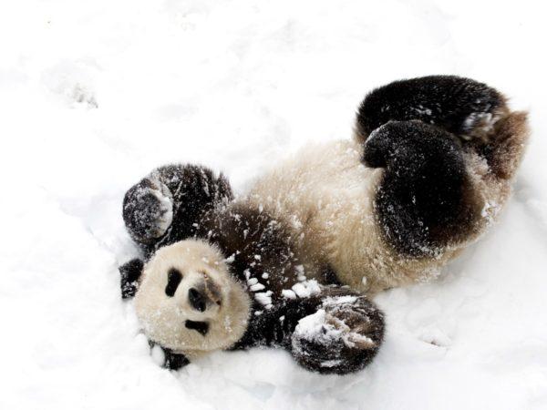 oso-panda-panda-gigante-nieve