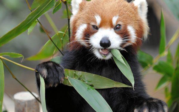 oso-panda-panda-rojo-comiendo