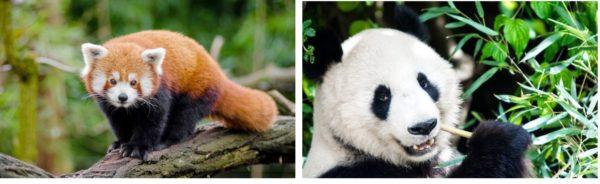 oso-panda-panda-rojo-gigante