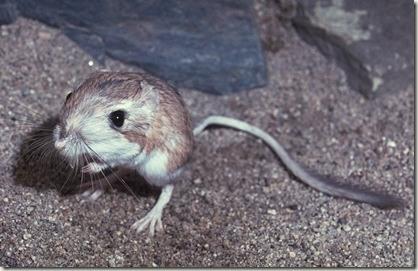 rata-canguro