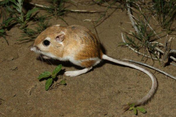 tipo de rata canguro