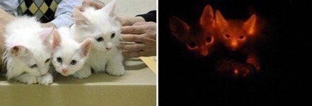 Mascotas exoticas 071213-clonedcats-hlrg-930a-thumb