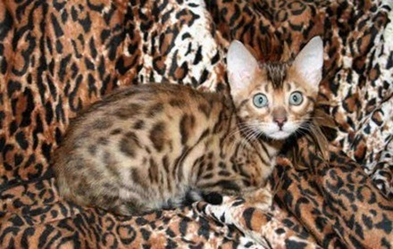 4-Bengal-Cat