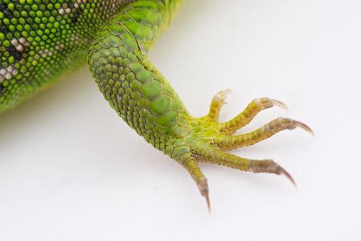 iguana-verde-3