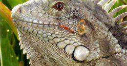 Iguana Verde – Fotos, Cuidados, Alimentación y ¿Podemos tener una Iguana como Mascota?