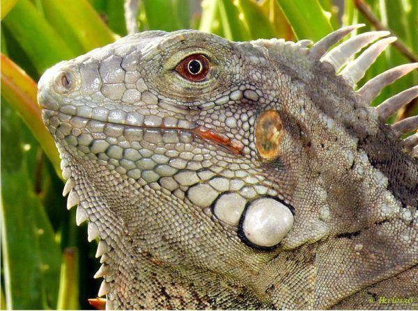 iguana-verde-5