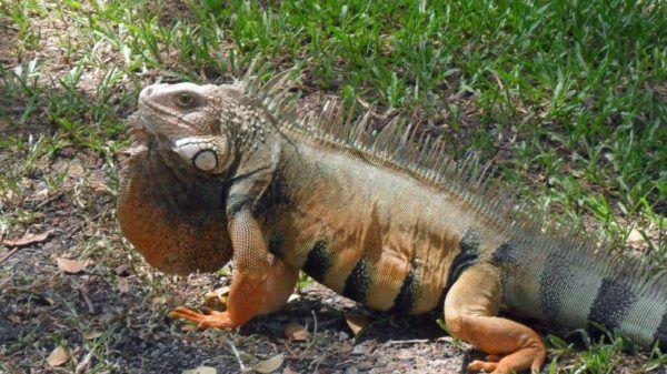 iguana-verde-8
