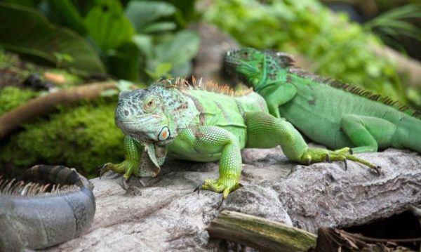 iguana-verde-xl