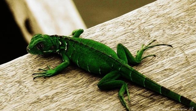 Antes de comprar una iguana verde ¡pensémoslo! (III ...