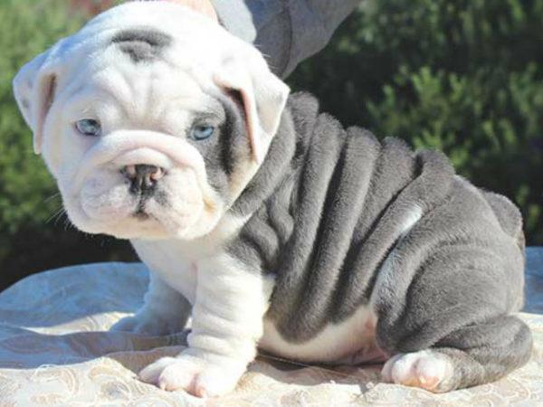 Bulldog-americano-bebe