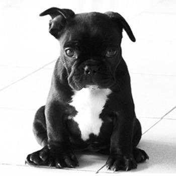 Tipos De Bulldogs Frances Inglés Y Americano Animalesmascotas