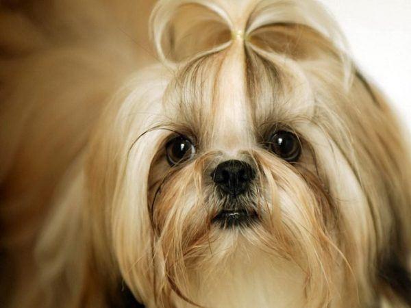 Perro Shih Tzu Fotos Características Cuidados De Razas De Perros