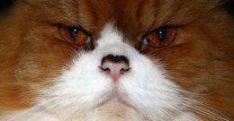 Gatos persas: Cuidados Carácter y Fotos