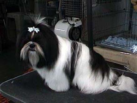 Fotos de perros de raza Shih Tzu - AnimalesMascotas